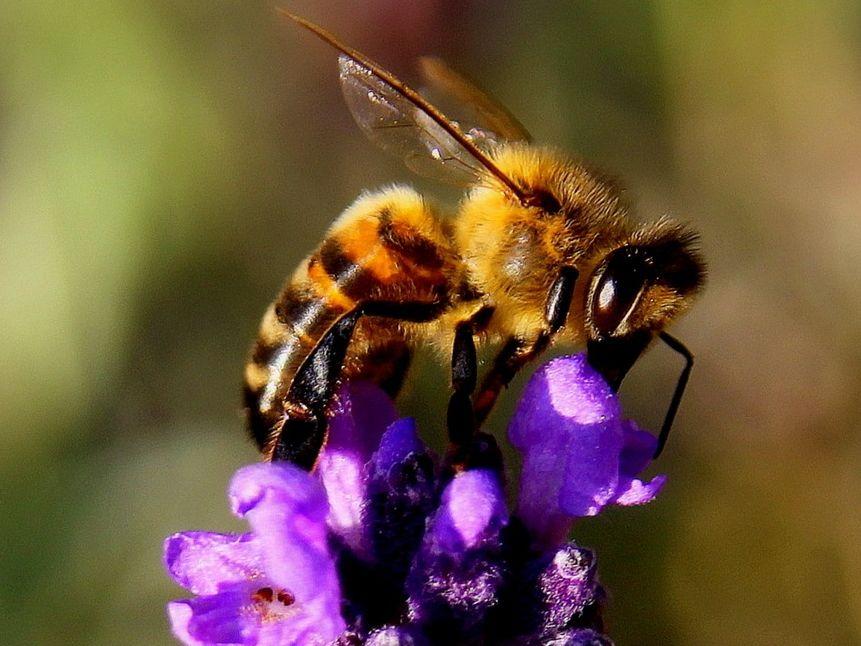 Biene auf blauer Blume freut sich auf Ihre Bienenpatenschaft!
