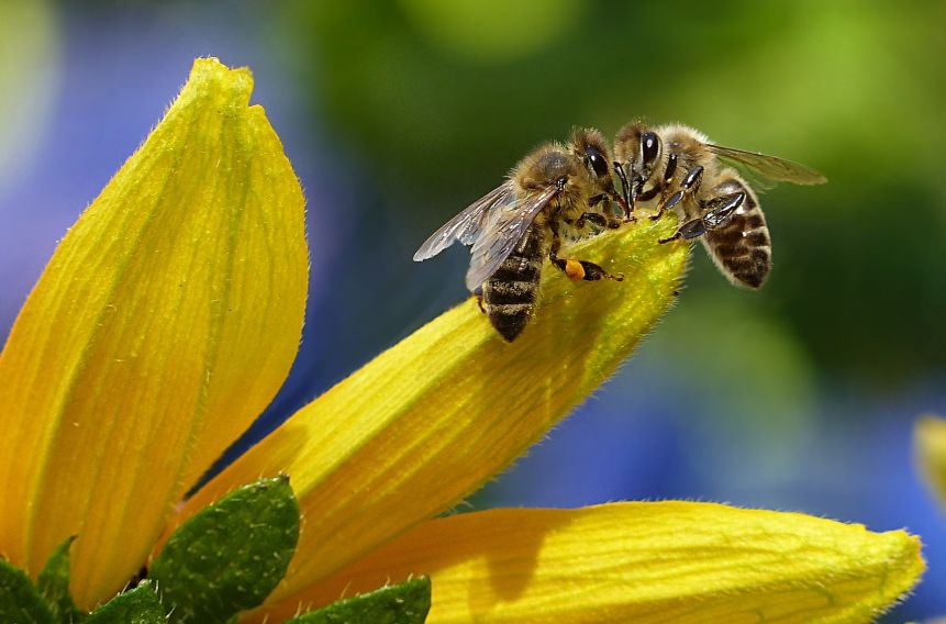 Biene auf gelber Blume wartet auf die Bienenpatenschaft.